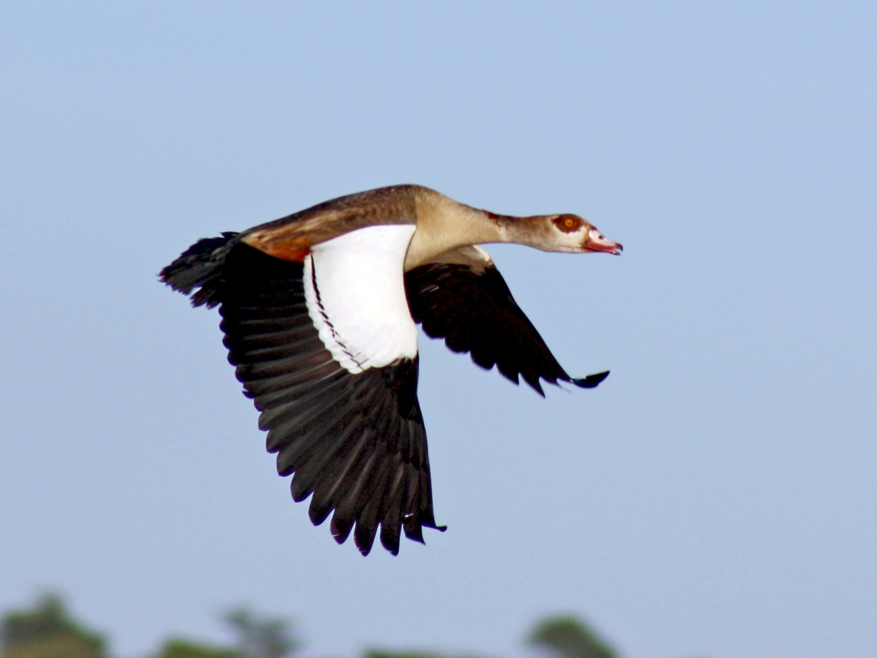 Egyptian Goose - David Weber