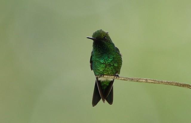Garden Emerald