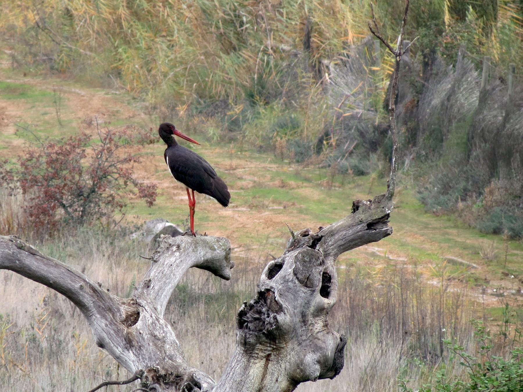 Black Stork - Fernando Enrique Navarrete