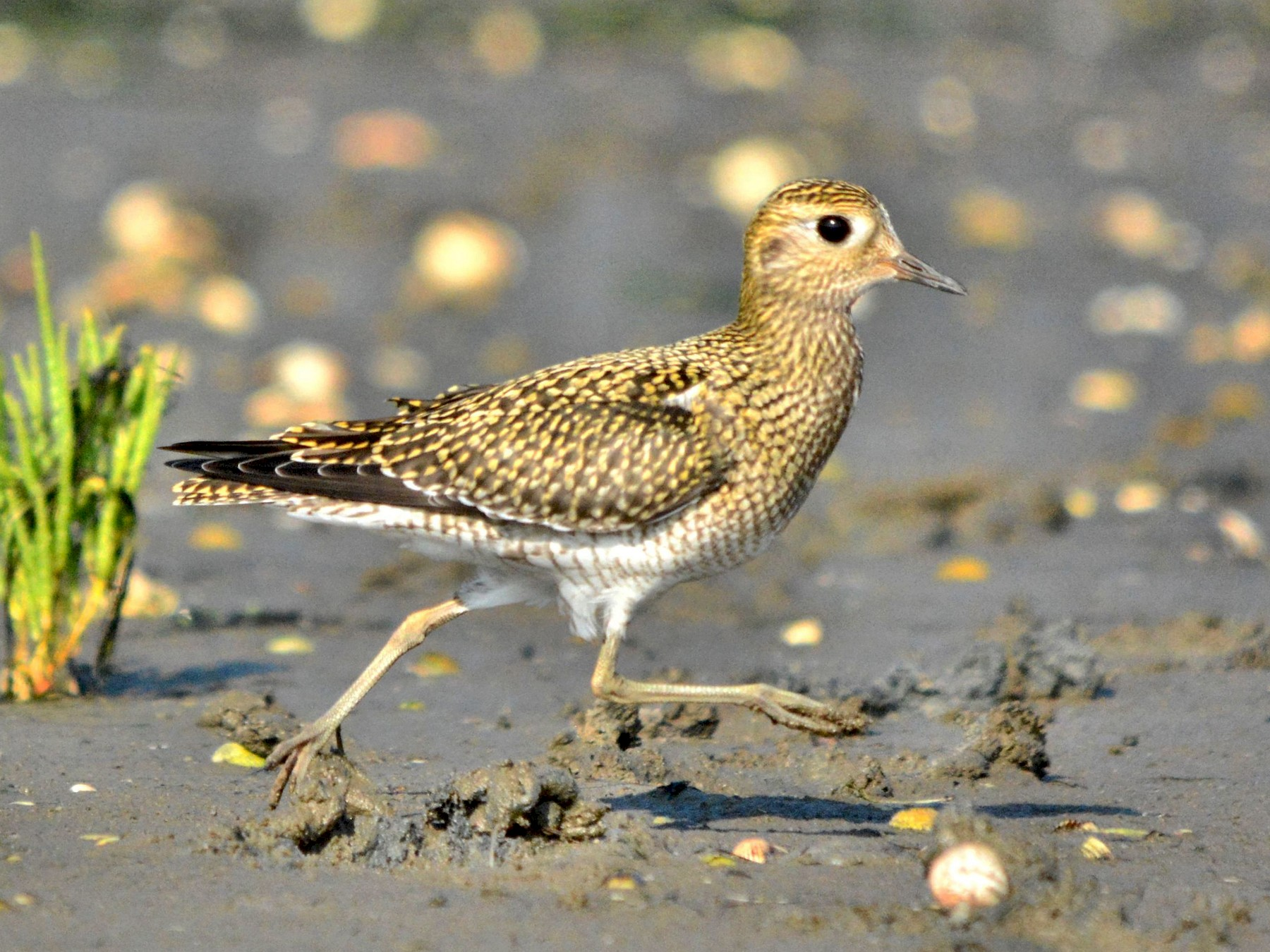 European Golden-Plover - Serge Wolf
