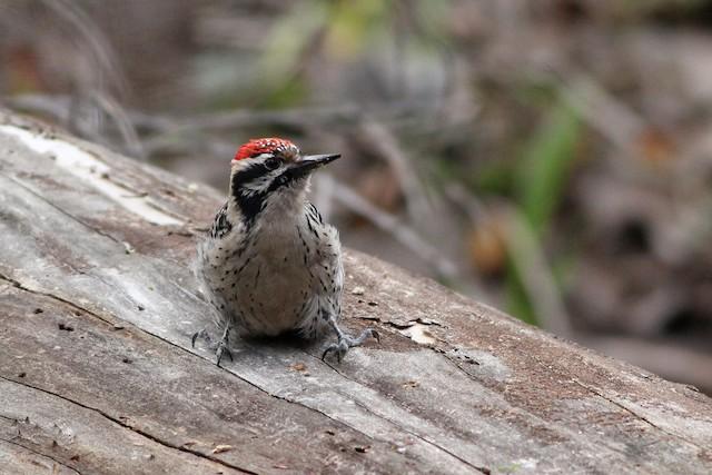 Ladder-backed Woodpecker