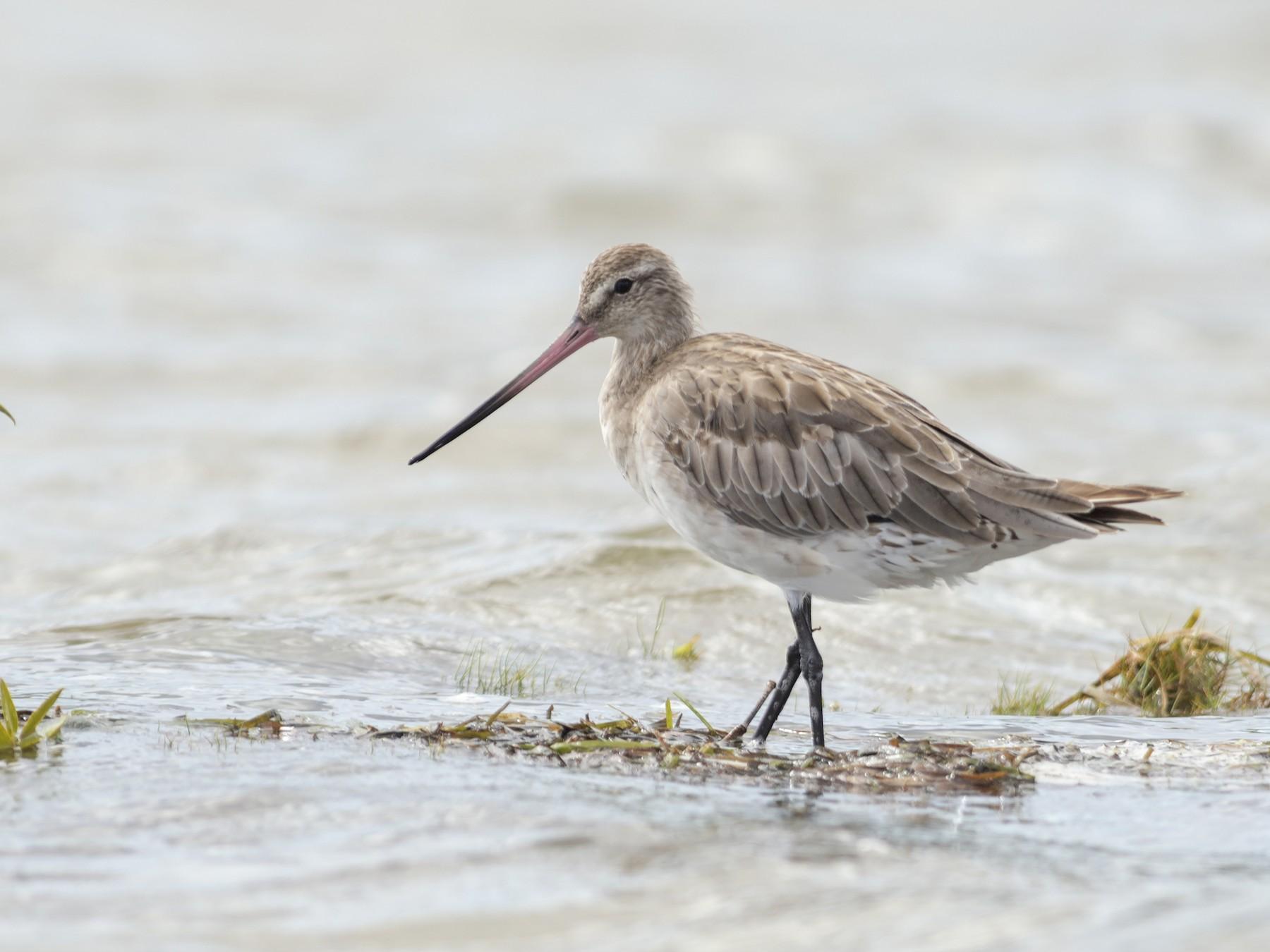 Bar-tailed Godwit - Peter Taylor