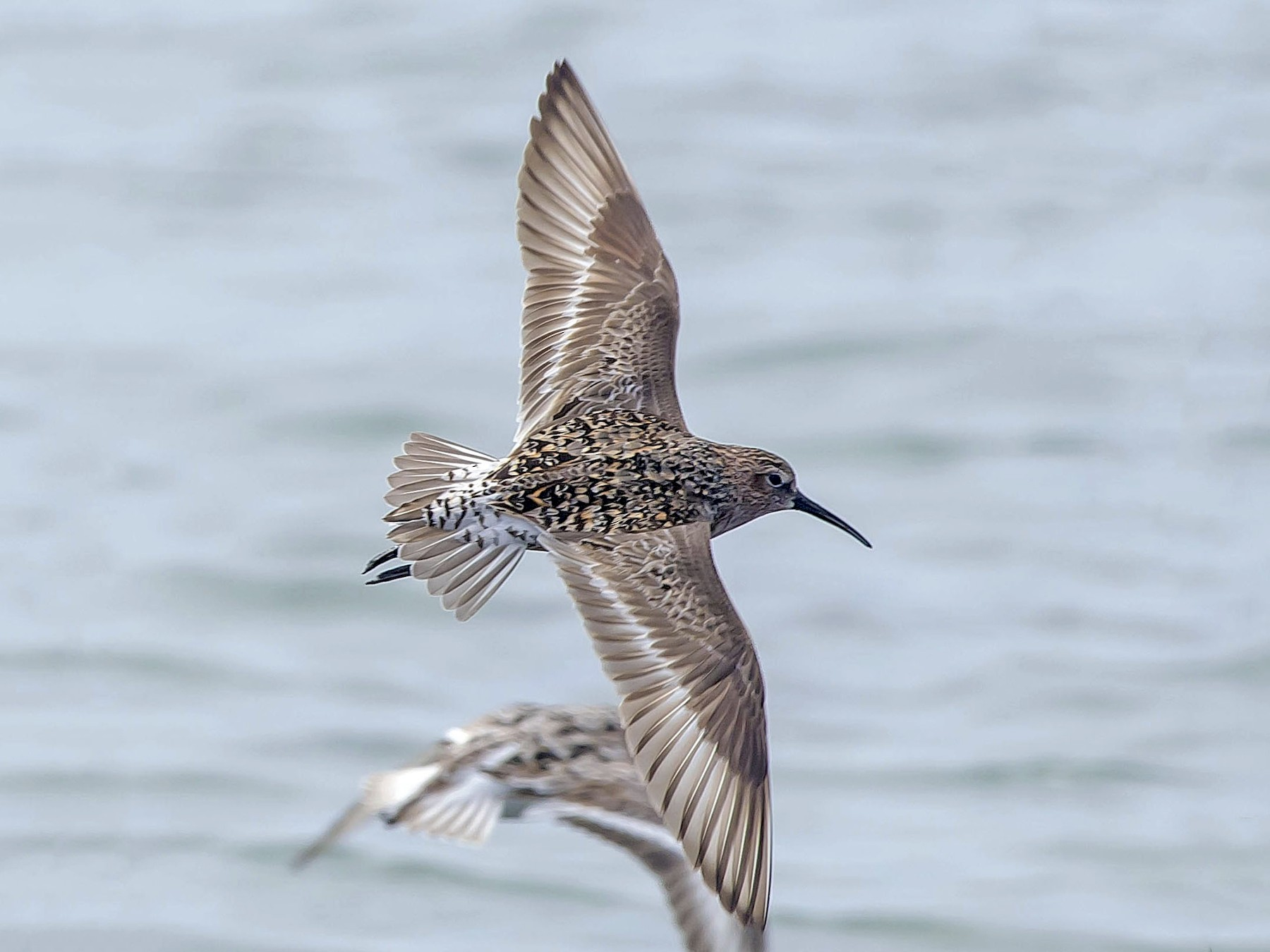 Curlew Sandpiper - Ronnie d'Entremont