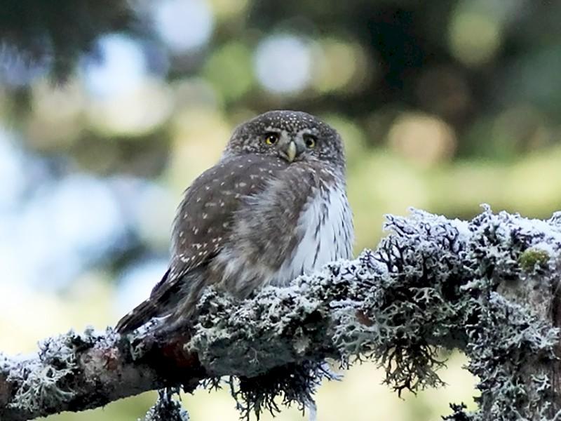 Eurasian Pygmy-Owl - Adrien Mauss