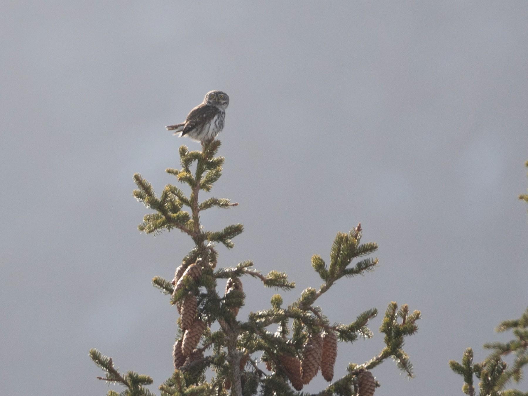 Eurasian Pygmy-Owl - Steve Kelling