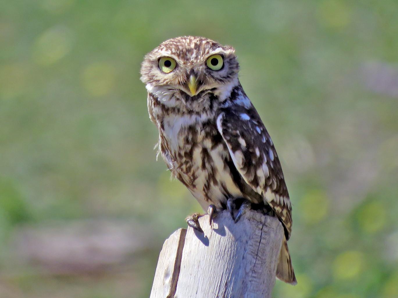 Little Owl - Pedro Fernandes