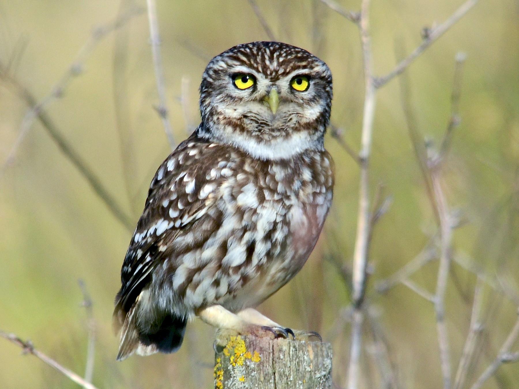 Little Owl - José Frade