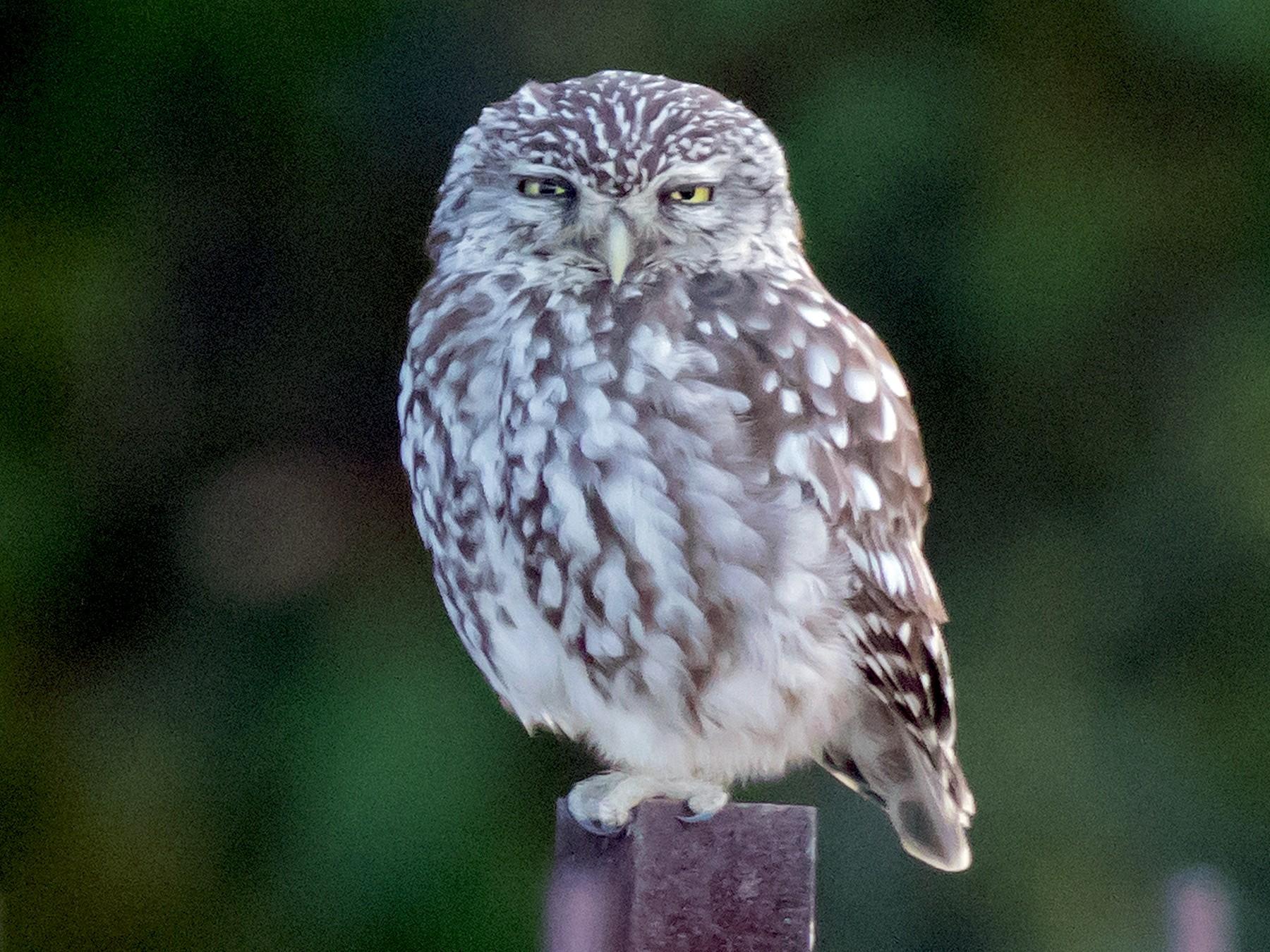 Little Owl - Steve Kelling