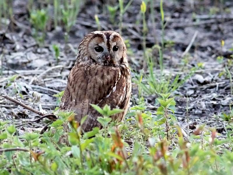Tawny Owl - Adrien Mauss