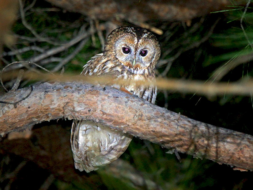 Tawny Owl - Oğuz Eldelekli.oğlu