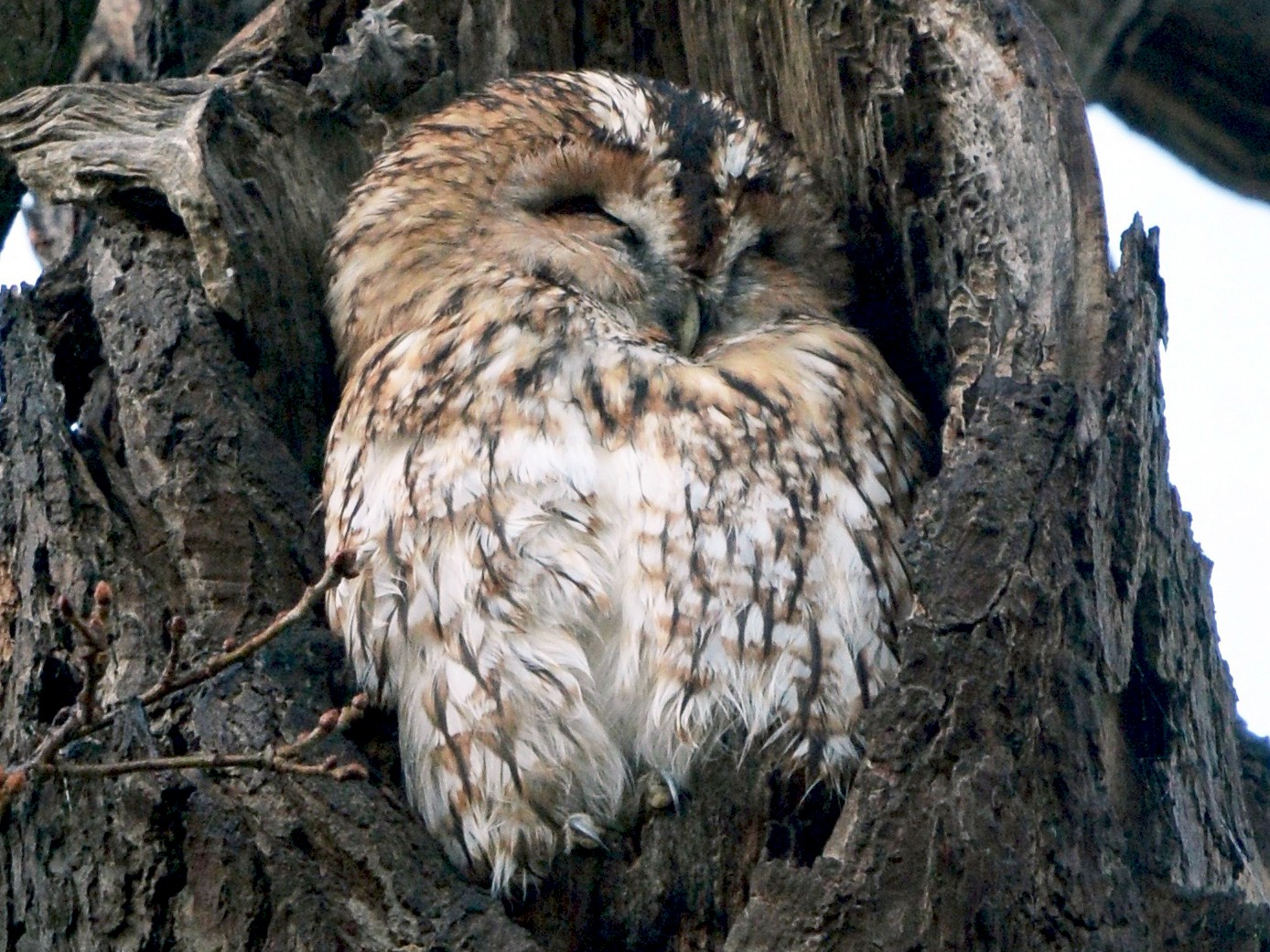 Tawny Owl - marcel finlay