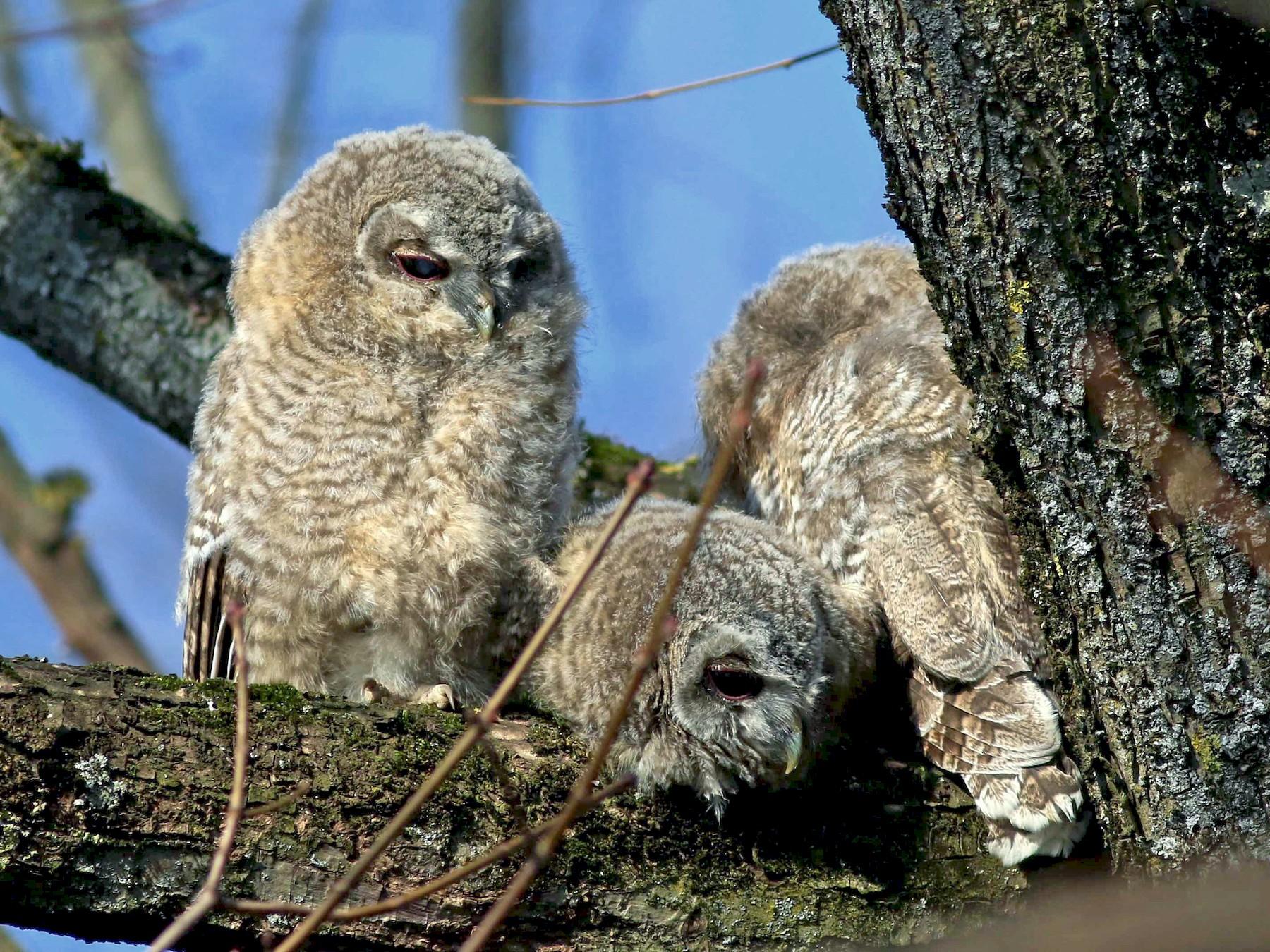 Tawny Owl - Stefan  Hirsch