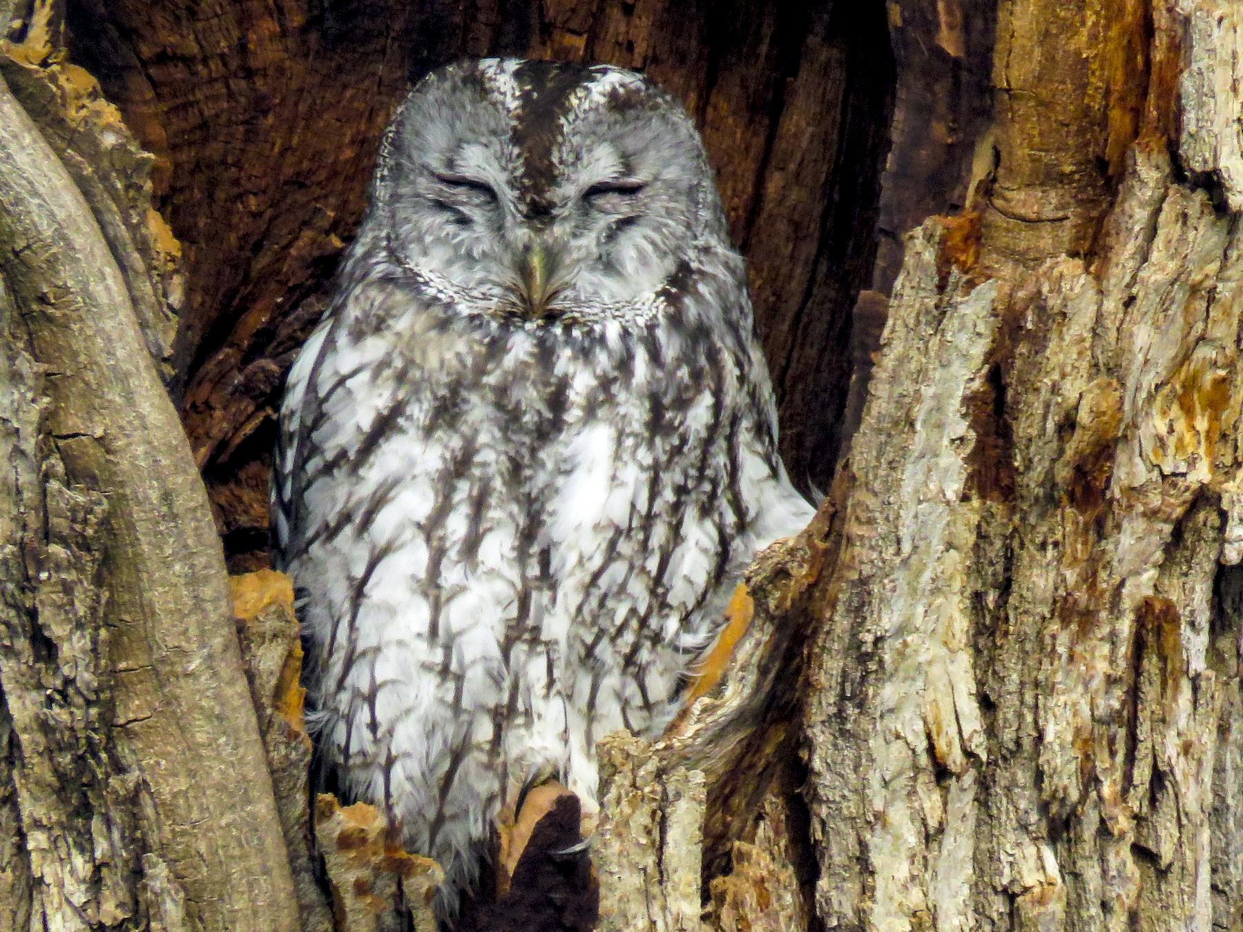 Tawny Owl - Dorna Mojab