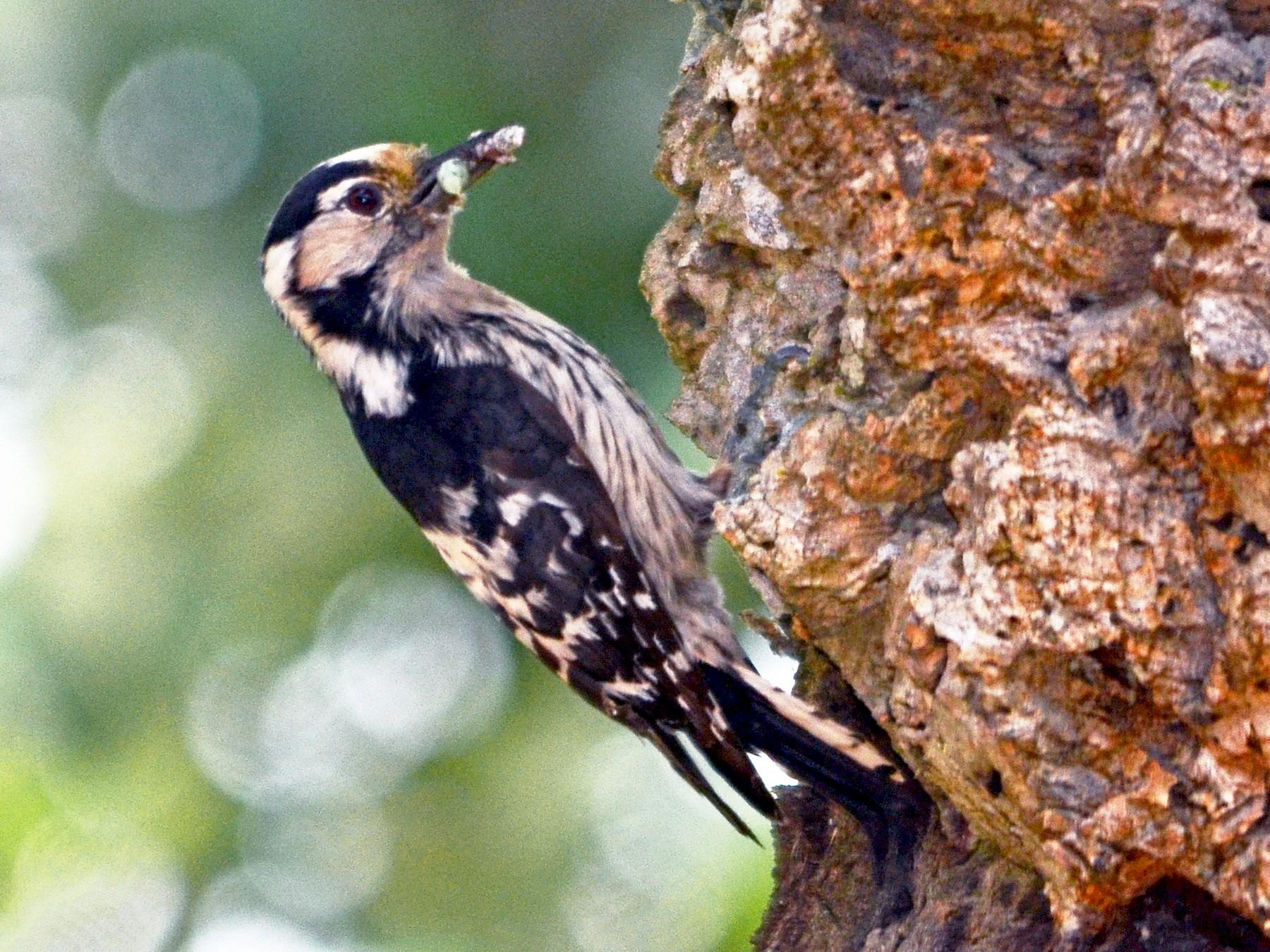 Lesser Spotted Woodpecker - José Frade