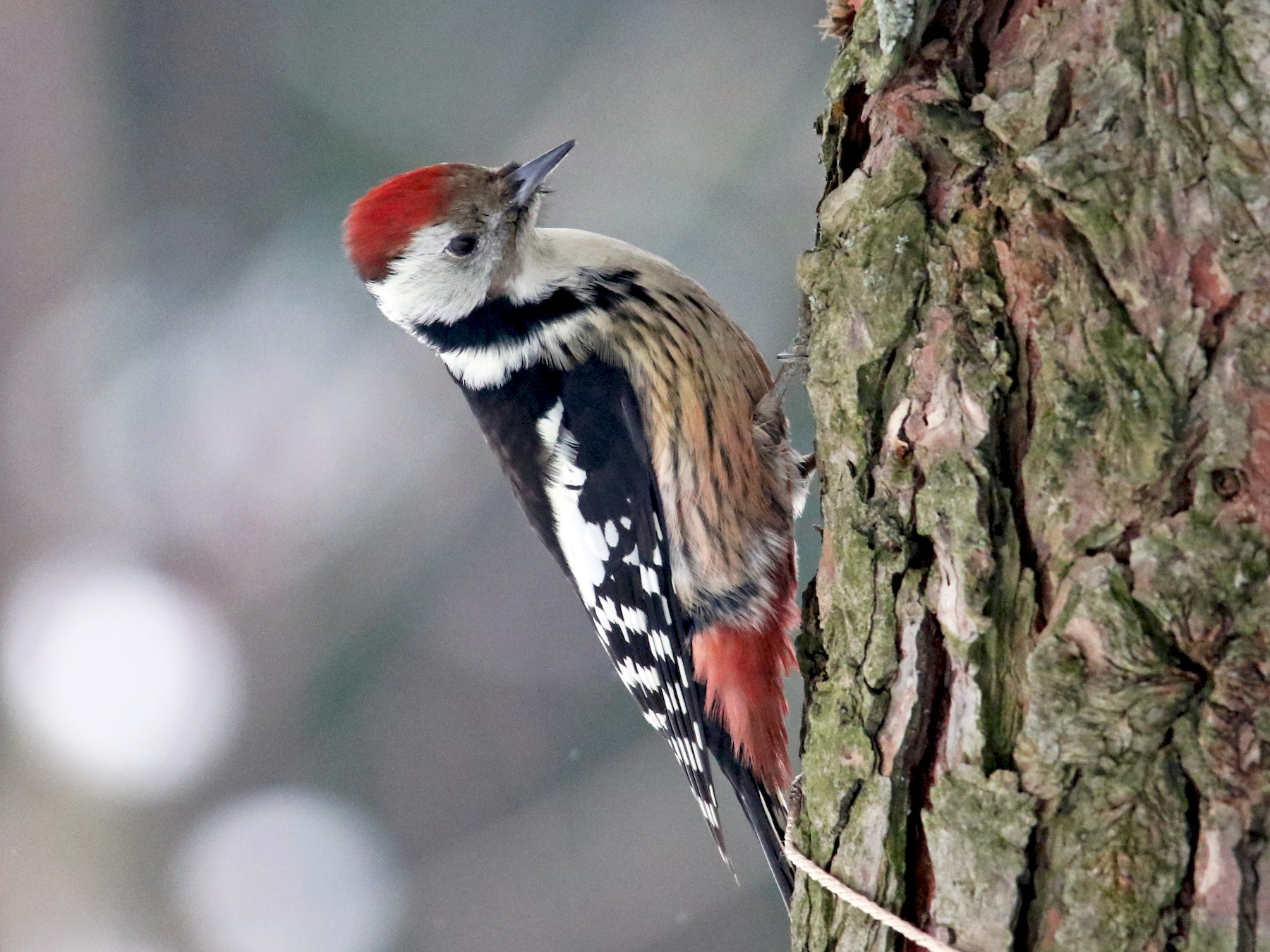 Middle Spotted Woodpecker - Tatyana Korzhitskaya