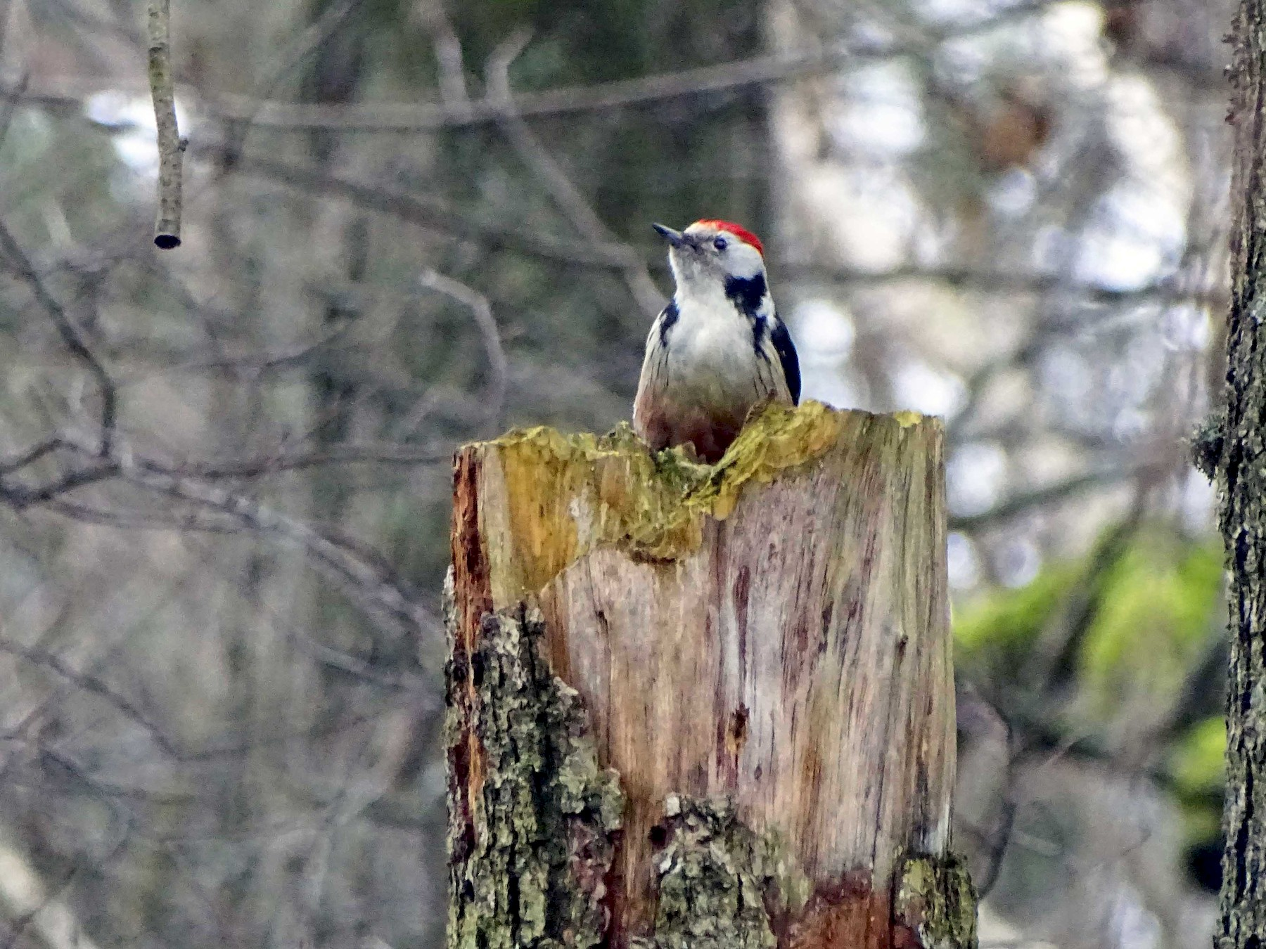 Middle Spotted Woodpecker - Ray Scally