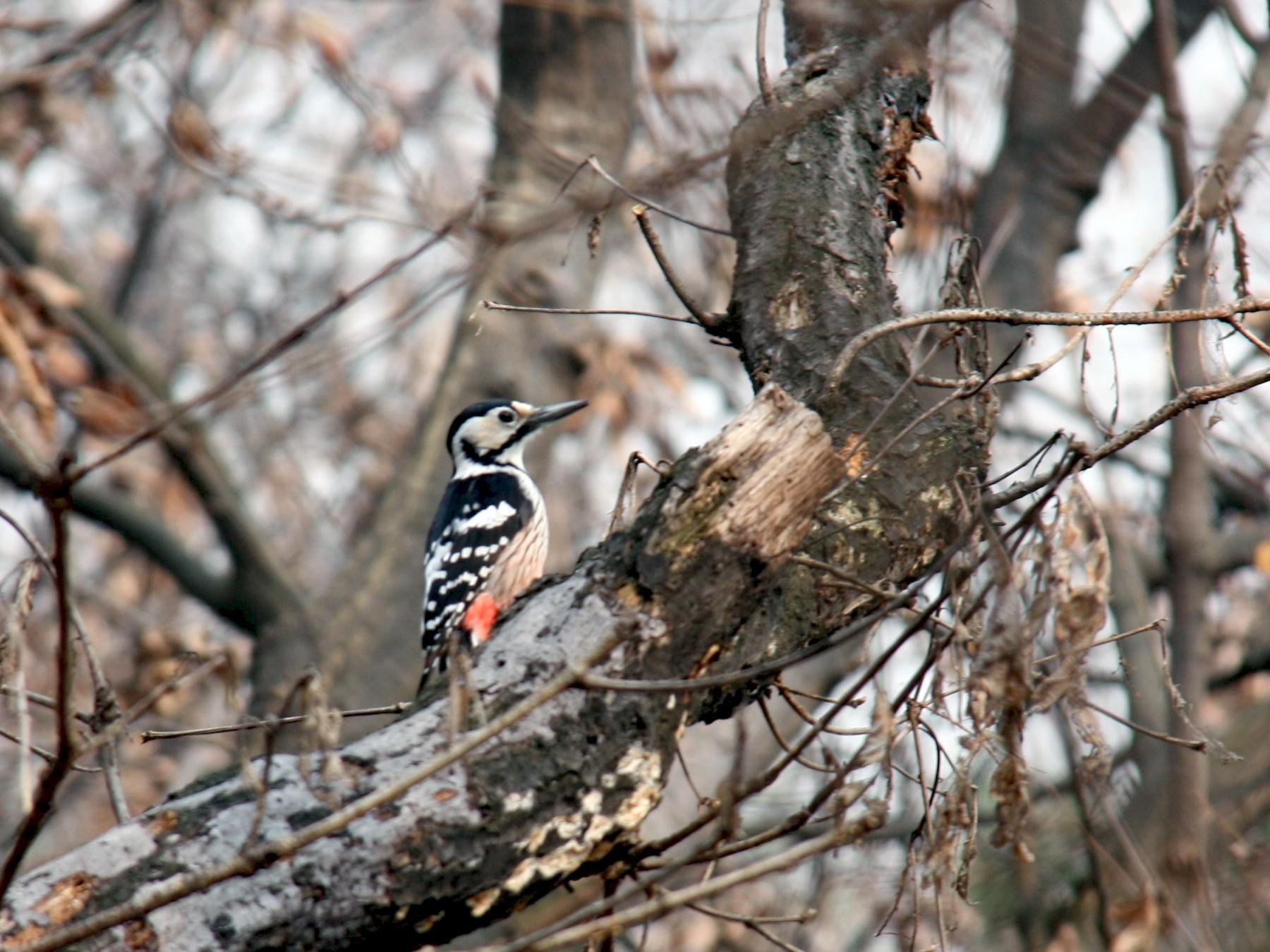 White-backed Woodpecker - Tyler Joyner