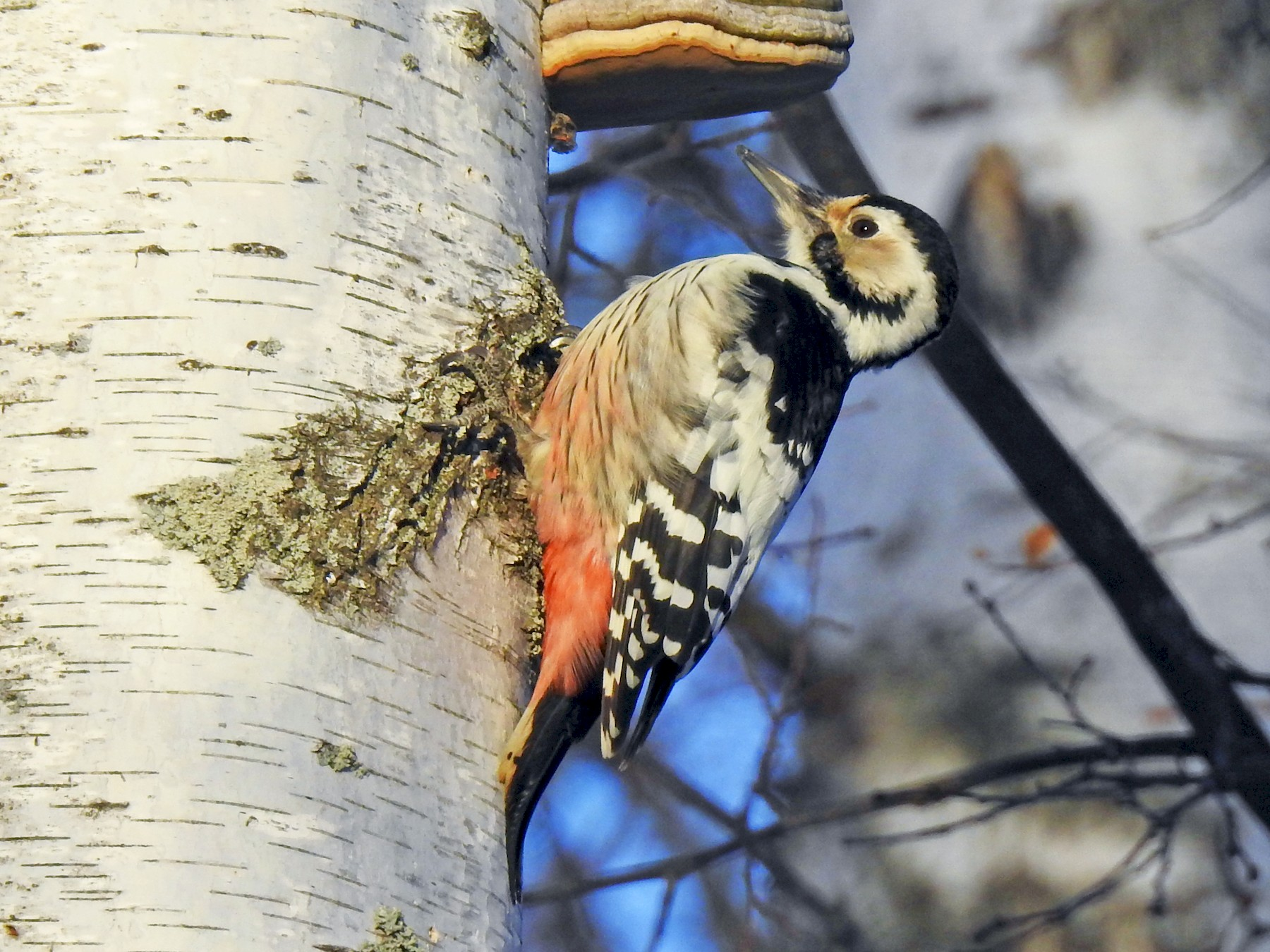 White-backed Woodpecker - Scott Young