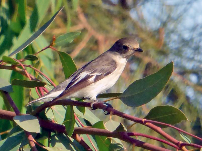 Collared Flycatcher - Pedro Moreira