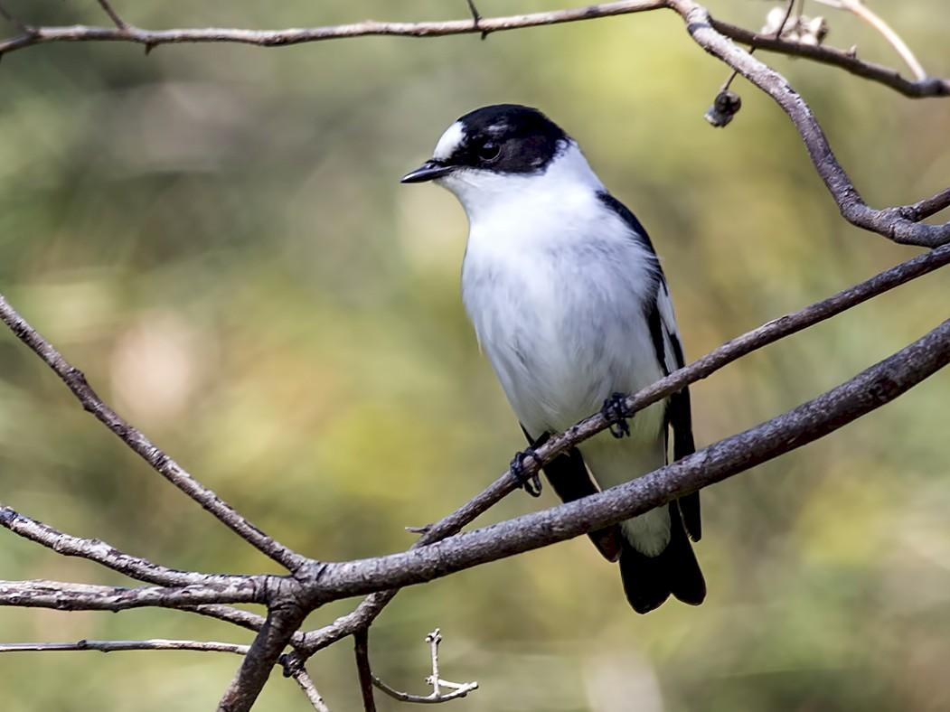 Collared Flycatcher - H. Çağlar Güngör