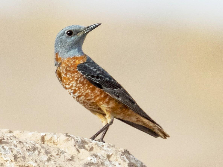 Rufous-tailed Rock-Thrush - Markus Craig