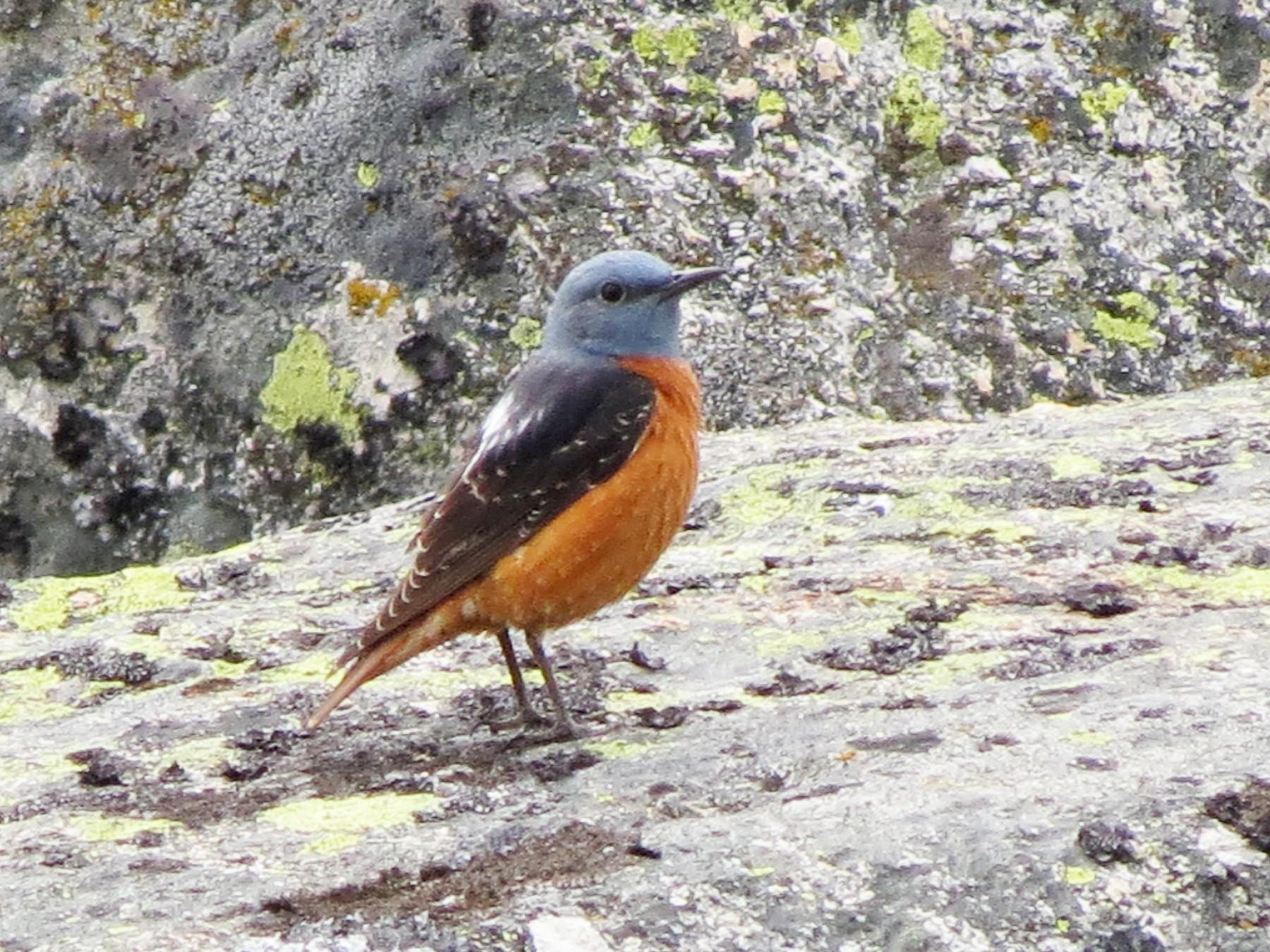 Rufous-tailed Rock-Thrush - Fernando Enrique Navarrete