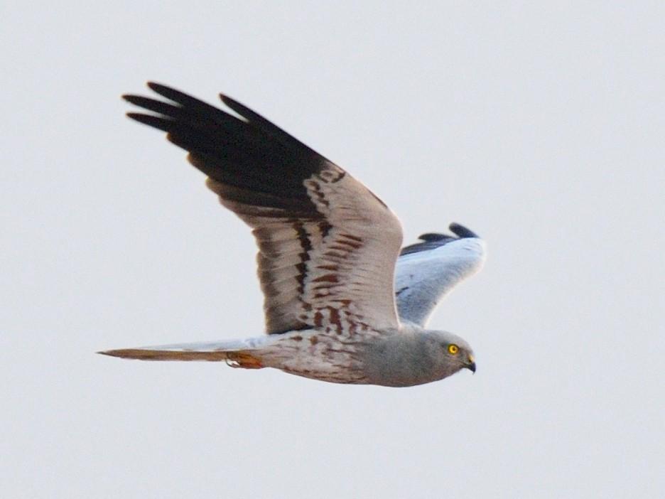 Montagu's Harrier - Snehasis Sinha