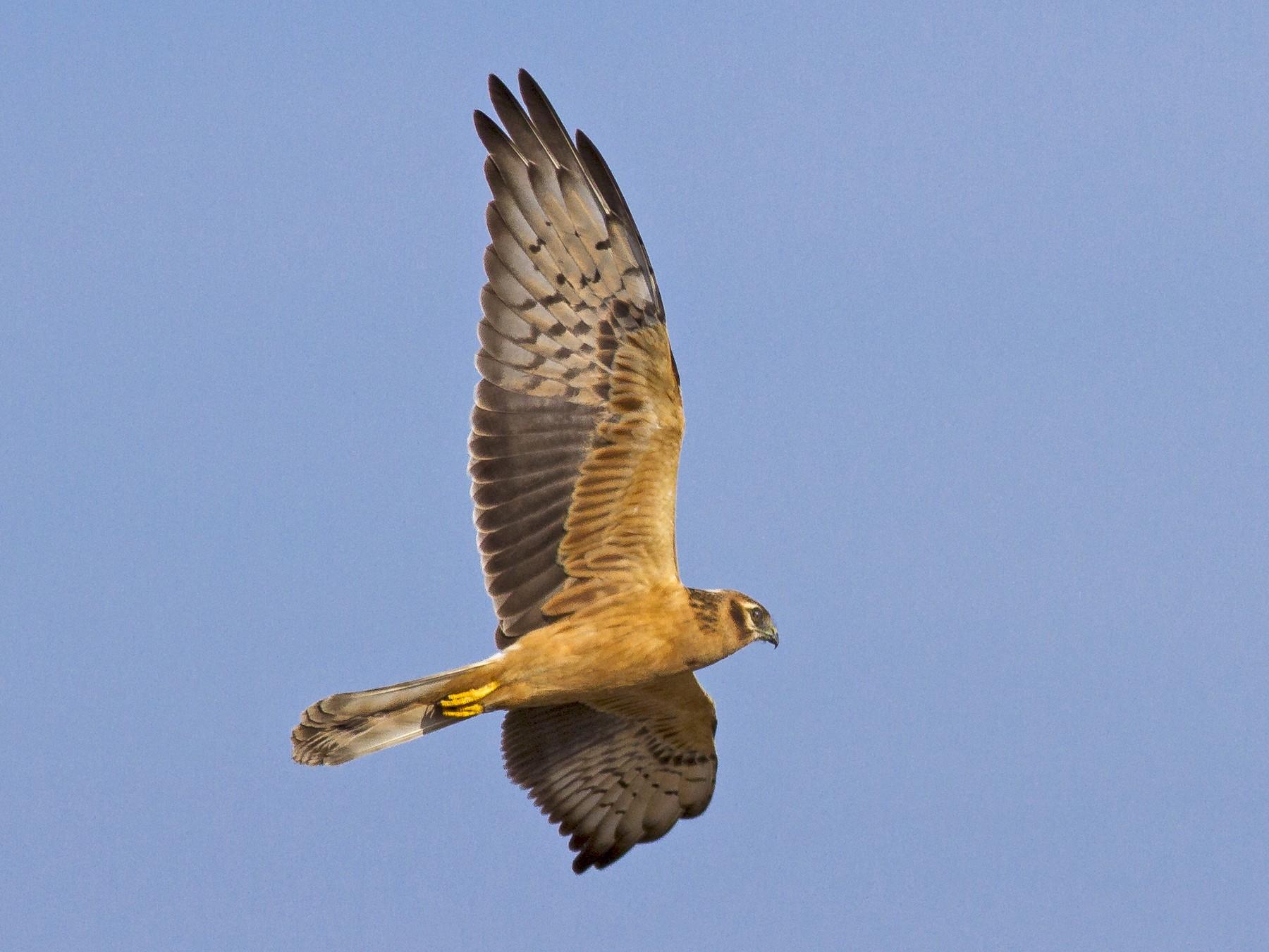 Montagu's Harrier - Javi Elorriaga
