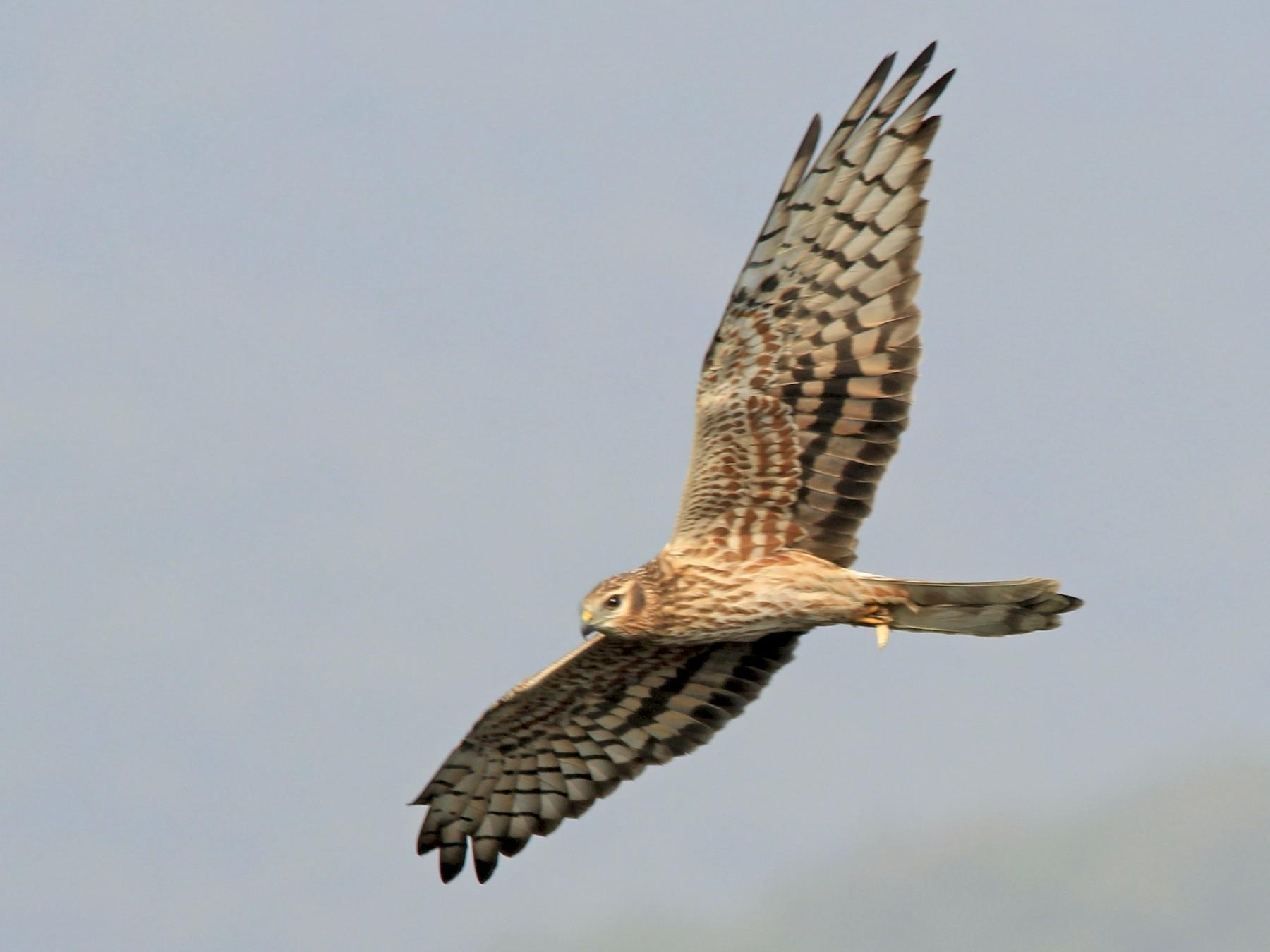 Montagu's Harrier - Rohidas Revankar
