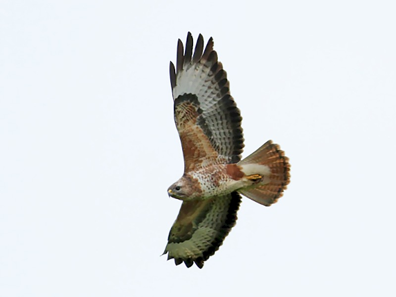 Common Buzzard - Tom Tarrant