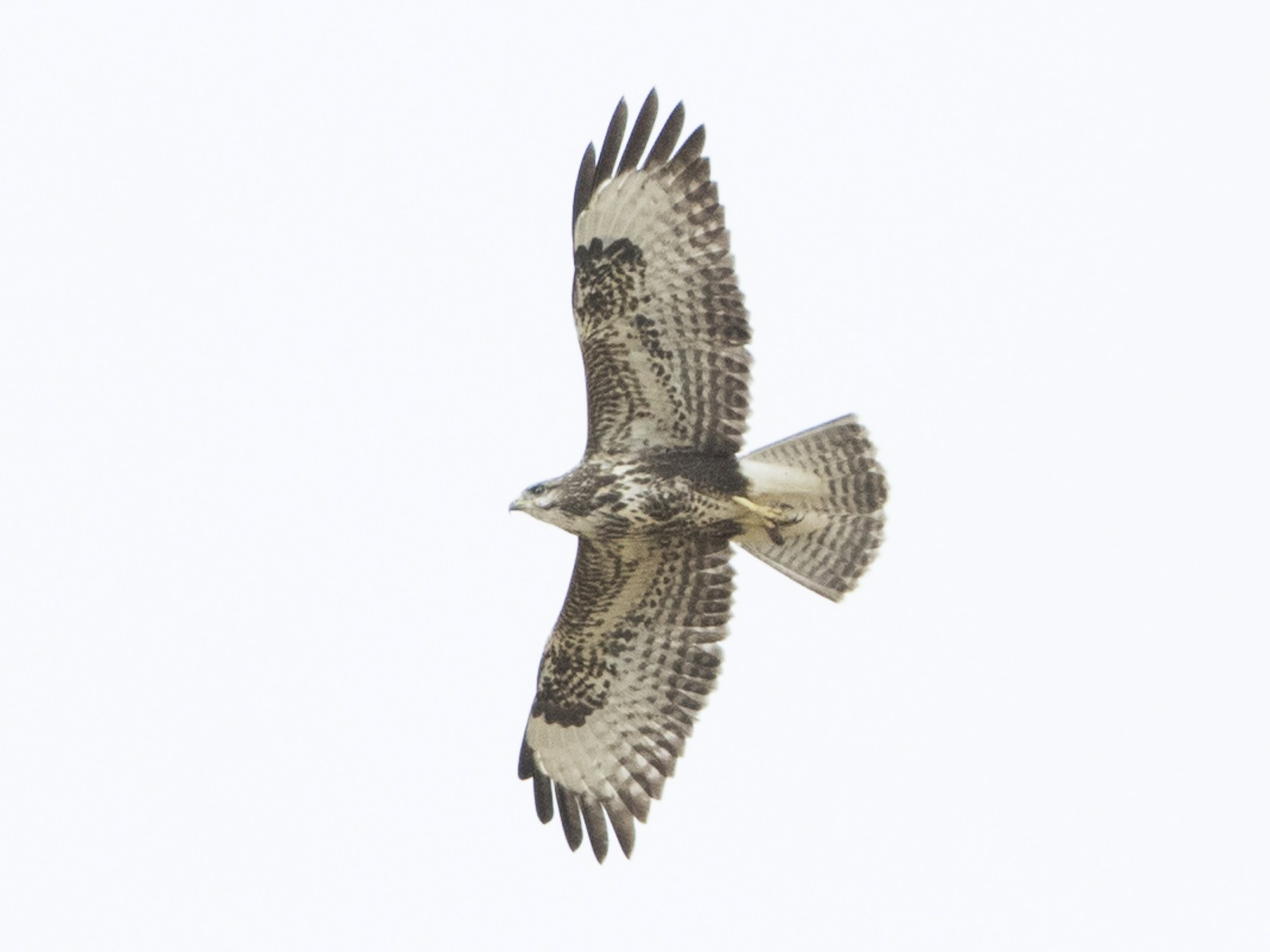 Common Buzzard - Brian Sullivan