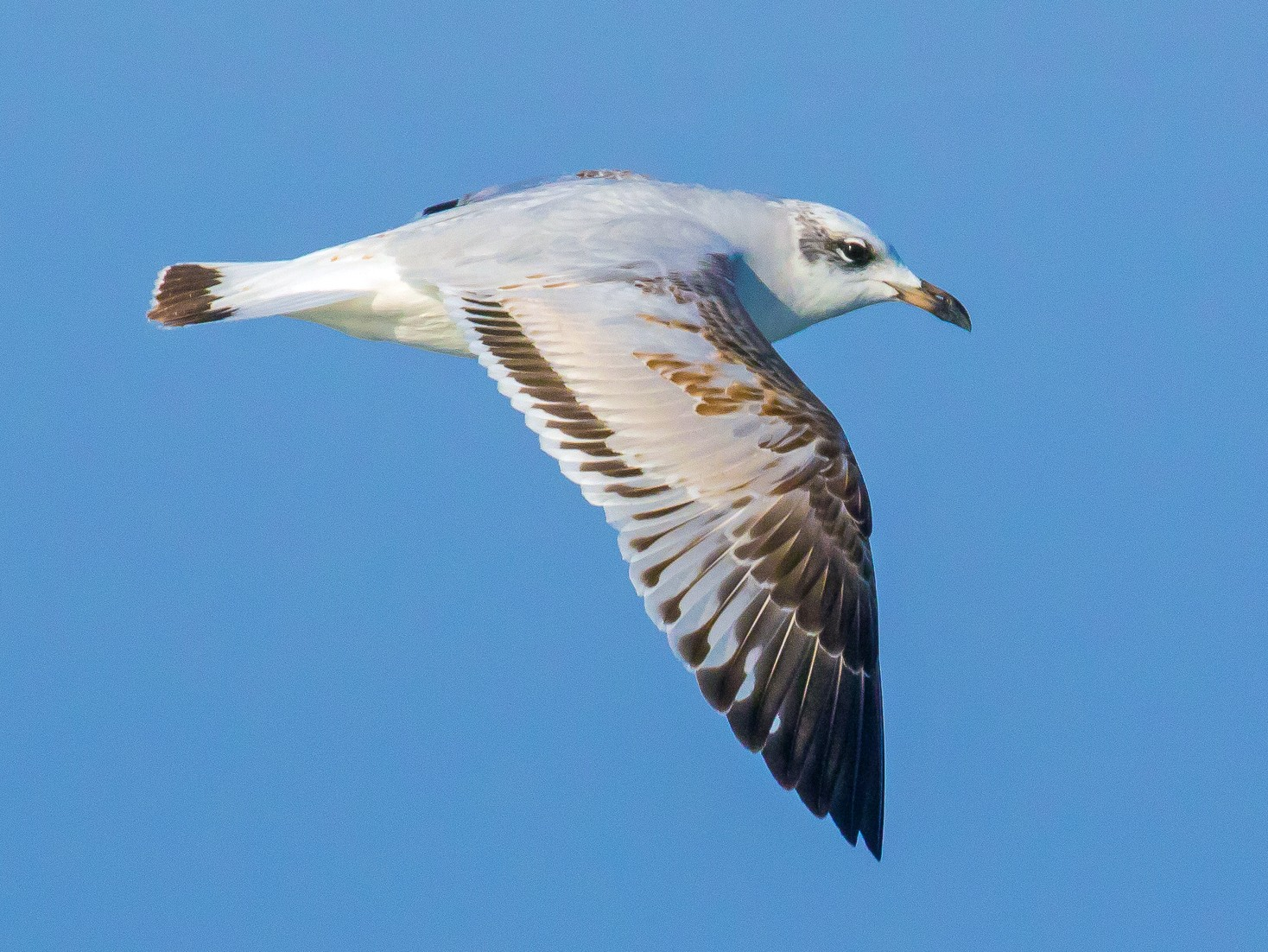 Mediterranean Gull - John Reynolds
