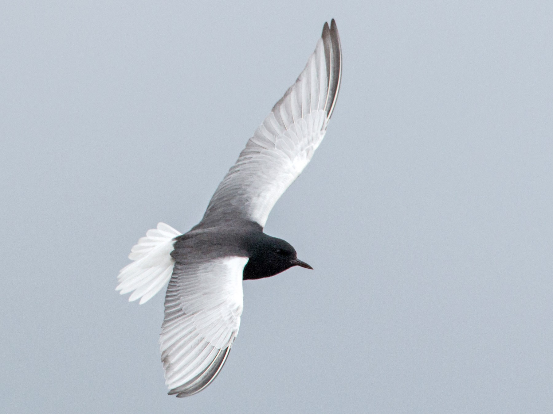 White-winged Tern - Ian Davies