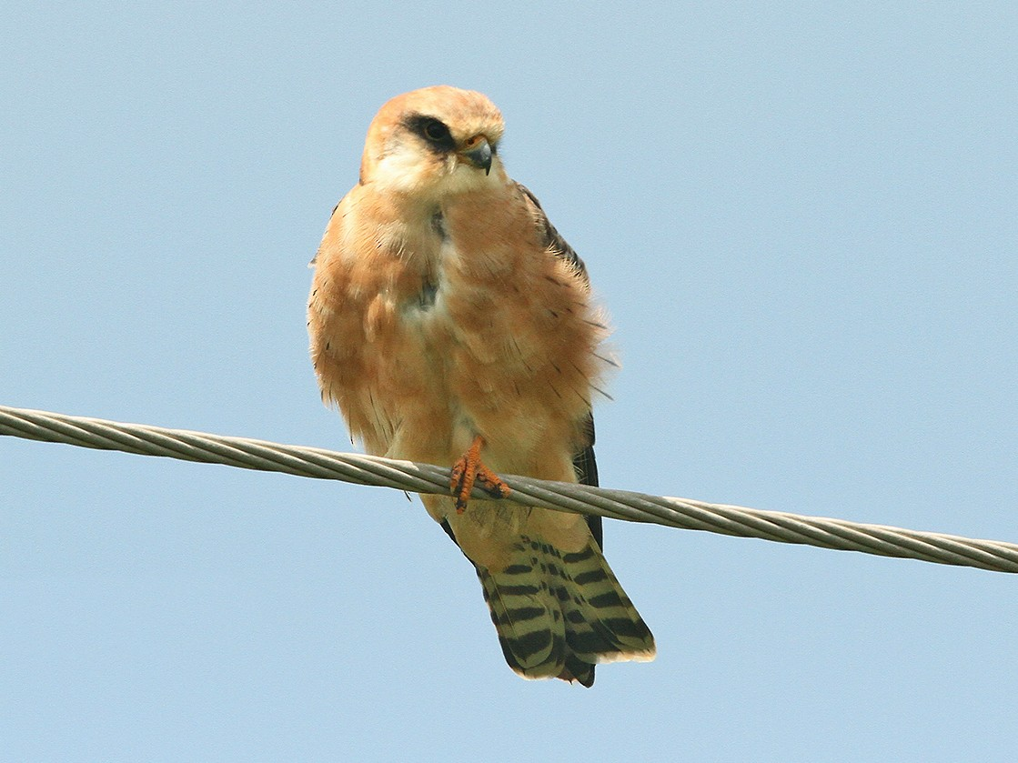 Red-footed Falcon - Daryl Dell