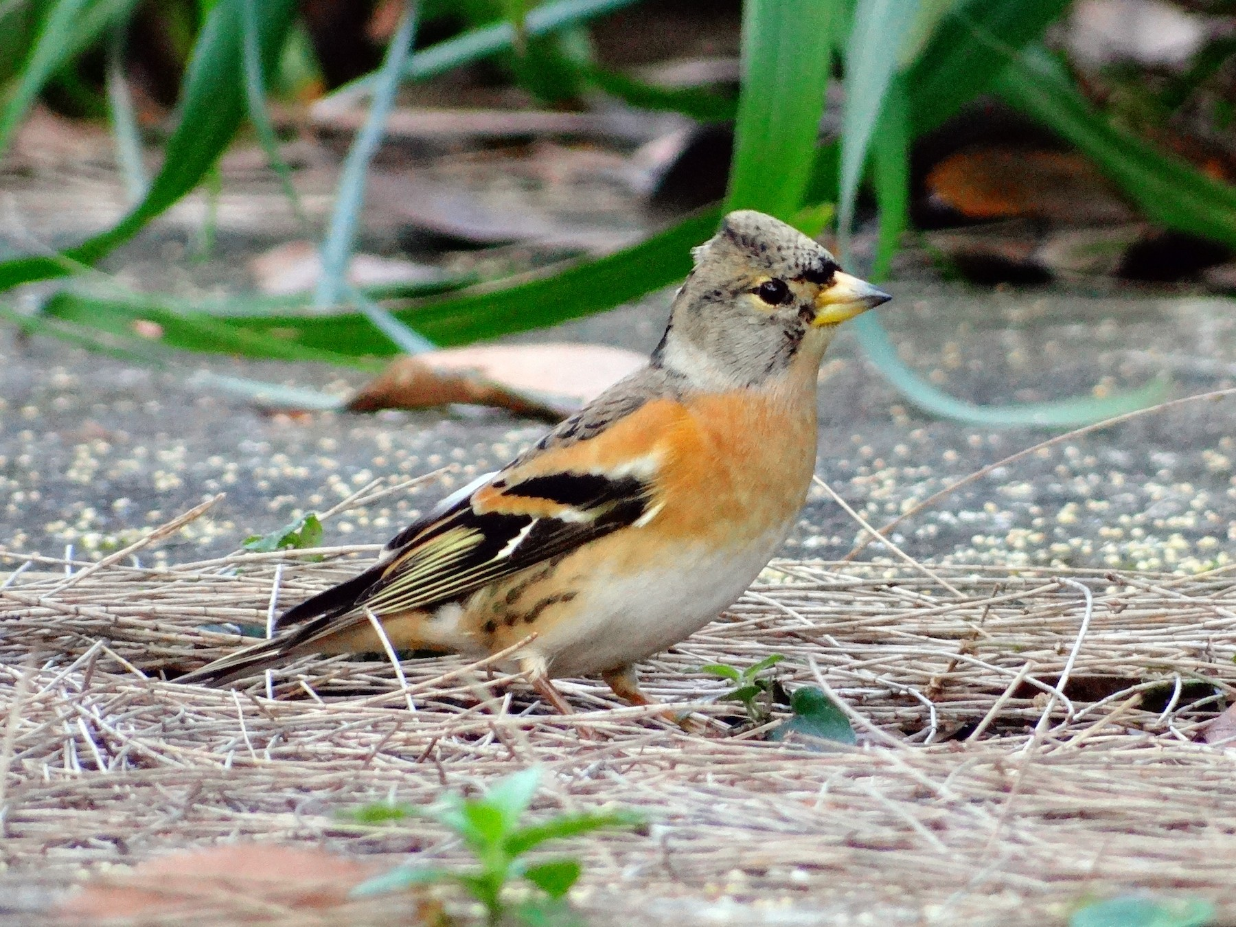Brambling - Tom Liao