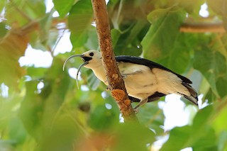 - Sickle-billed Vanga