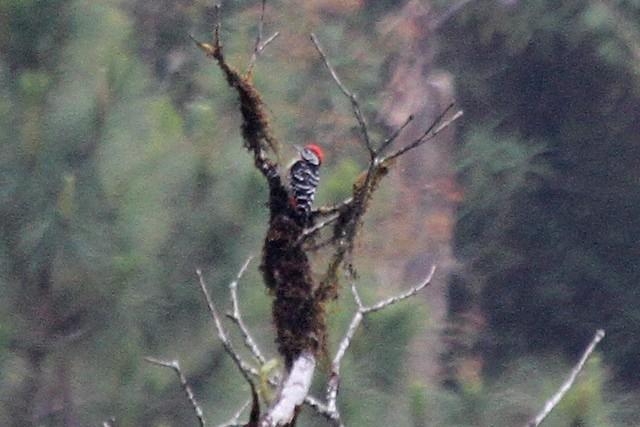 ©Jeffrey Offermann - Stripe-breasted Woodpecker