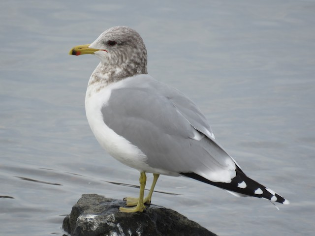 California Gull