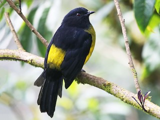 - Black-and-yellow Silky-flycatcher