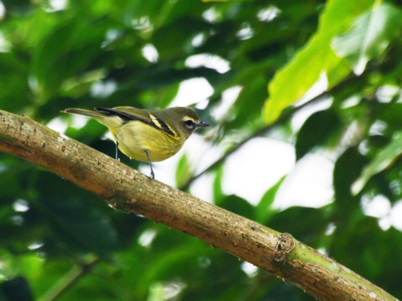 Yellow-winged Vireo - David M. Bell