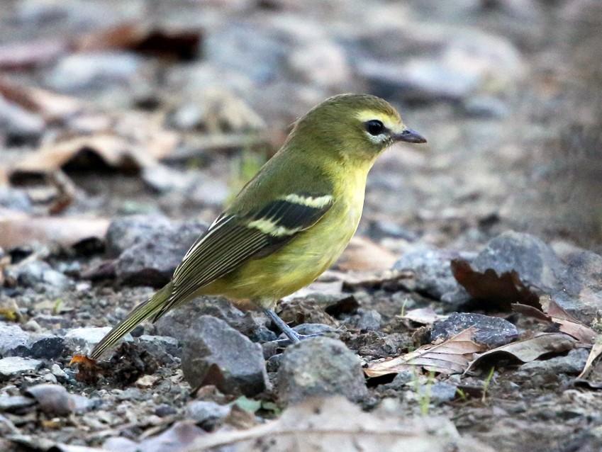Yellow-winged Vireo - Tom Murray