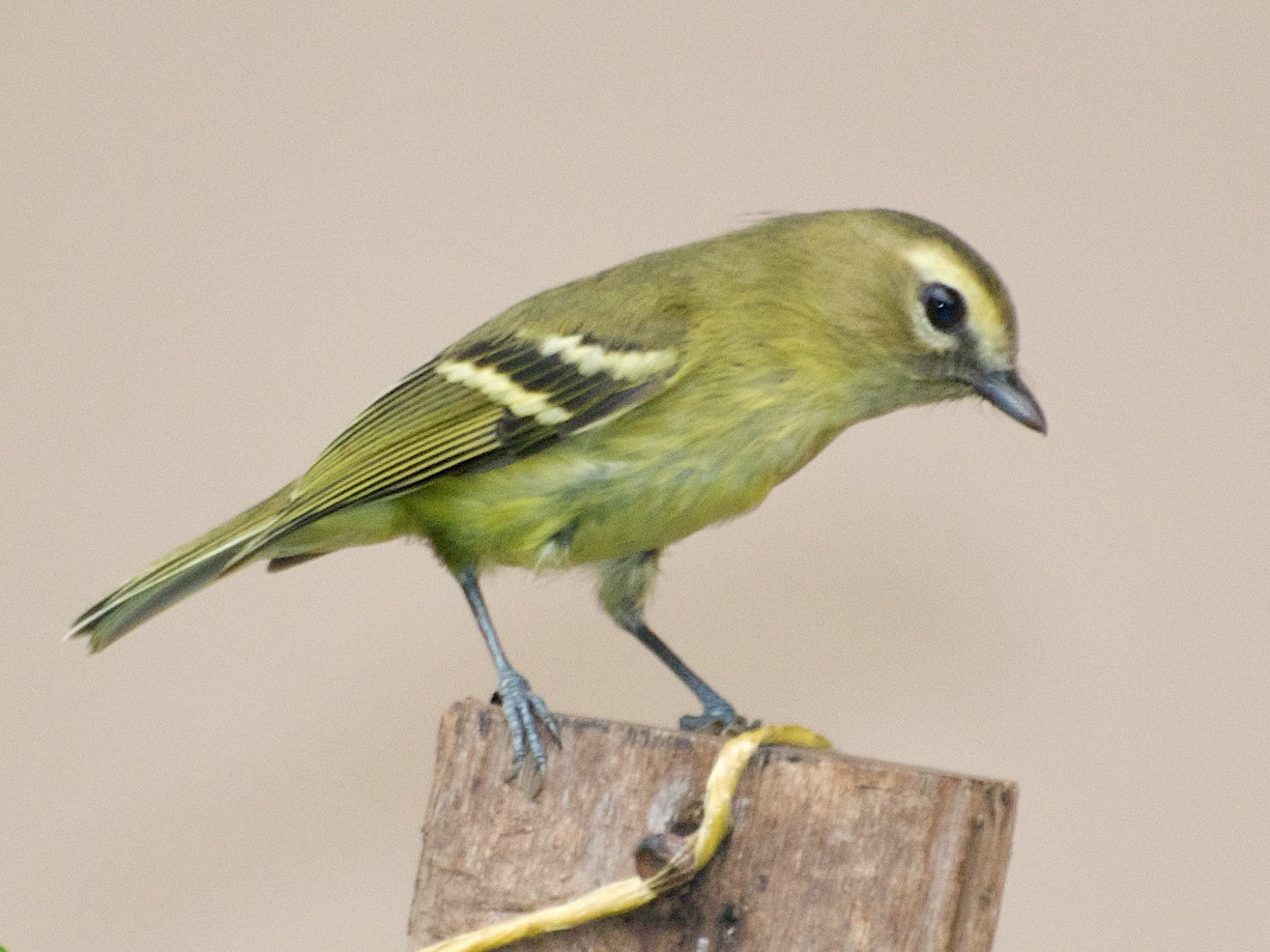 Yellow-winged Vireo - Christian  Nunes