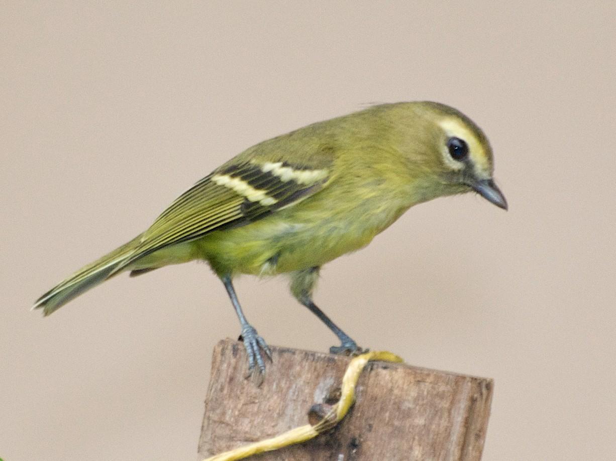Yellow-winged Vireo - Christian  Nunes