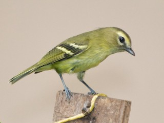 - Yellow-winged Vireo