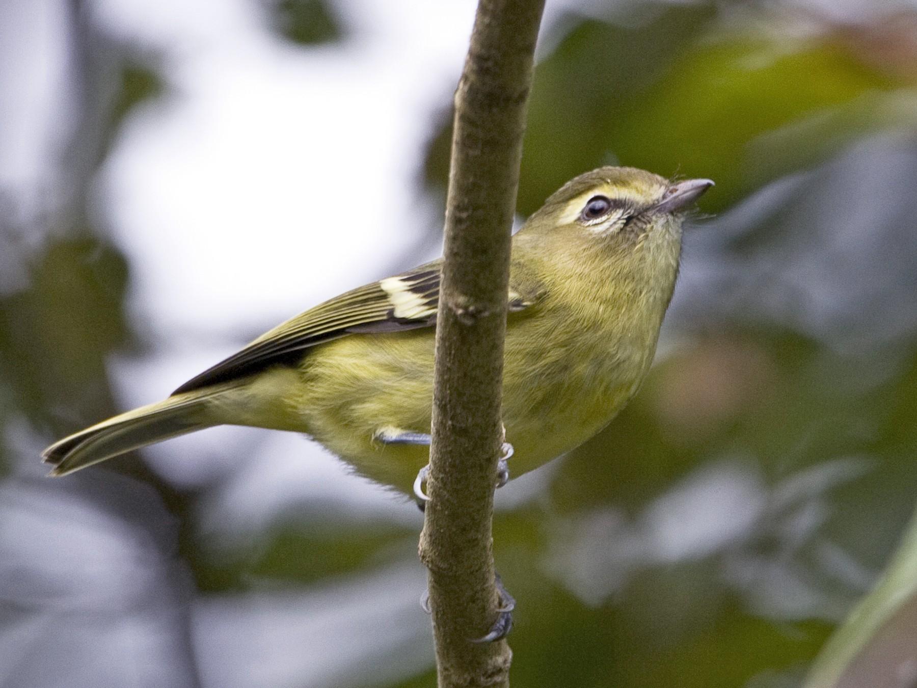 Yellow-winged Vireo - Brian Sullivan