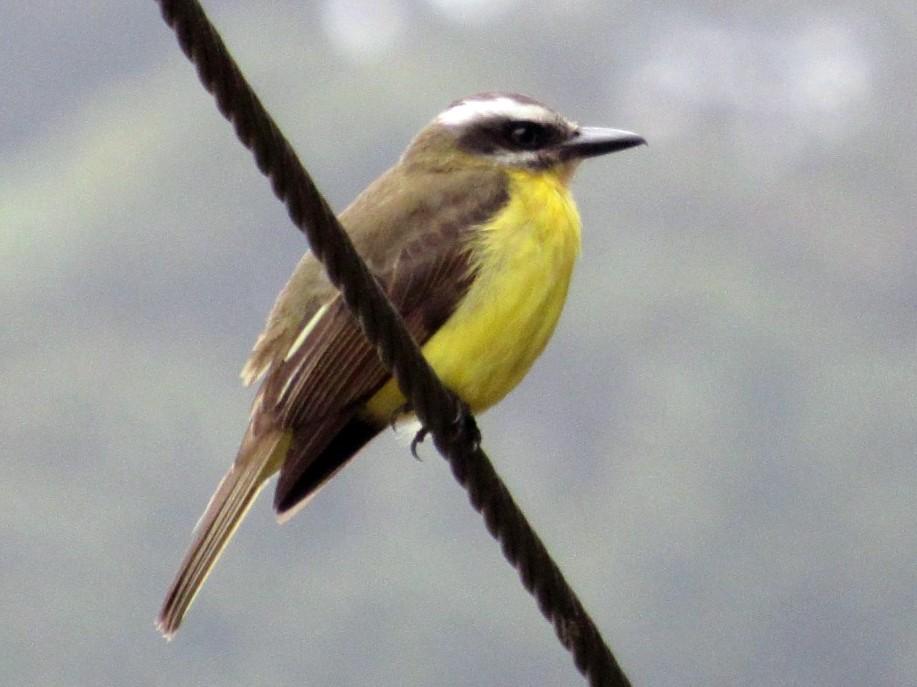 Golden-bellied Flycatcher - Jim Zook