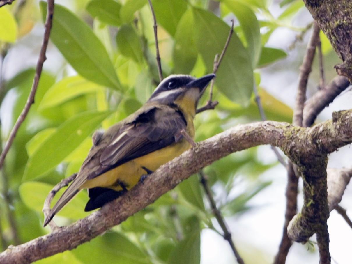 Golden-bellied Flycatcher - David Hollie