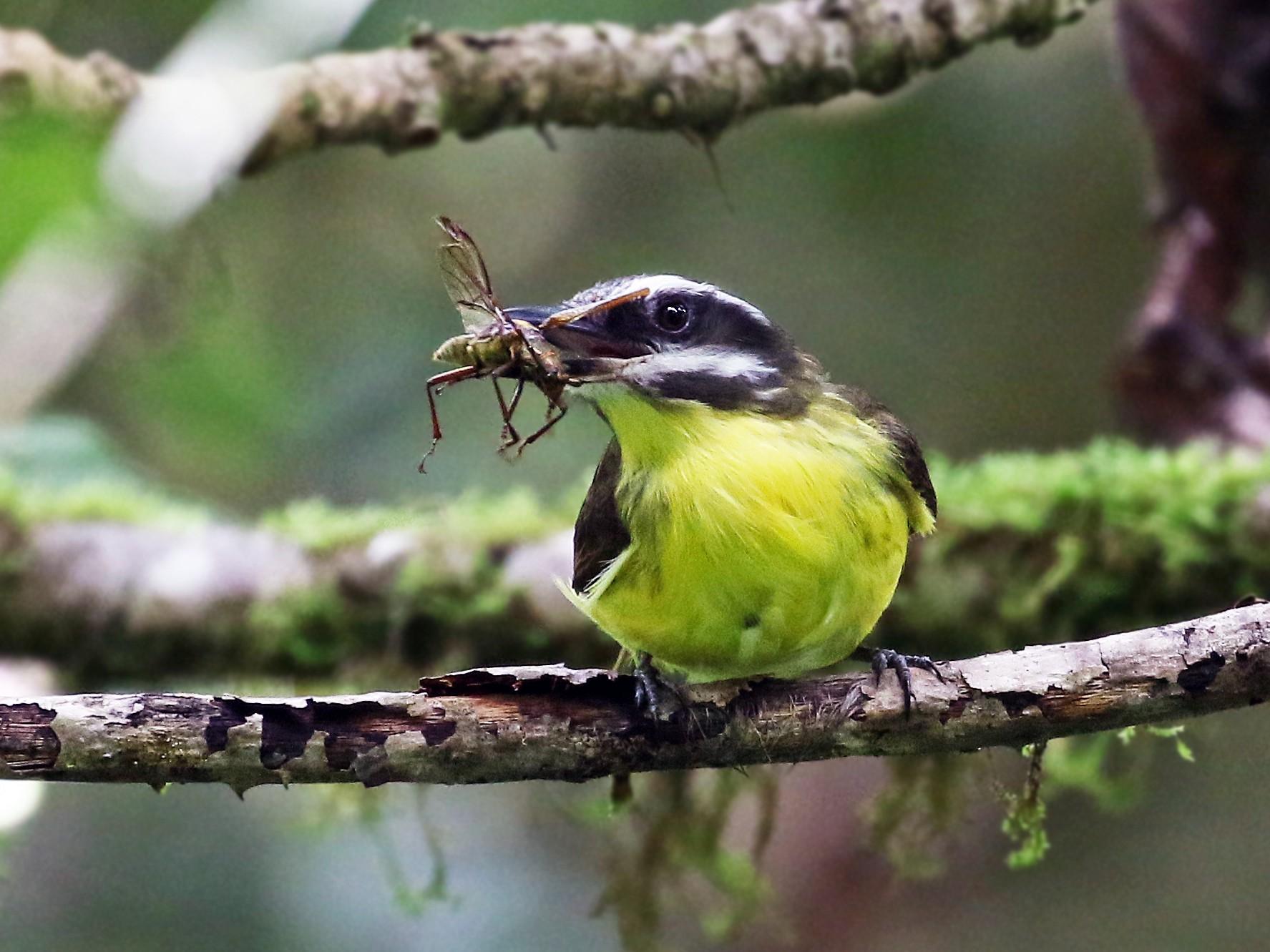 Golden-bellied Flycatcher - Andrew Spencer