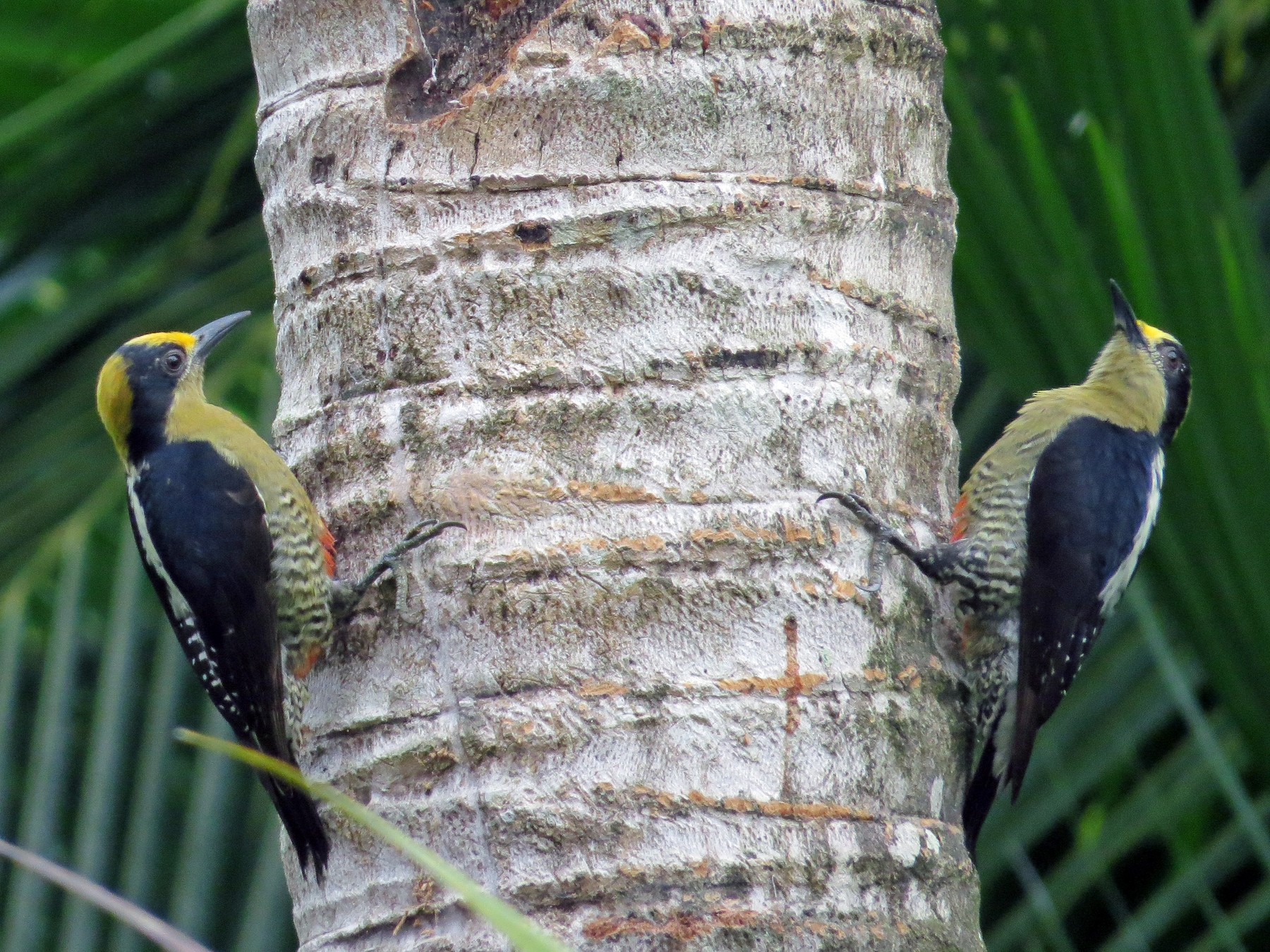 Golden-naped Woodpecker - kenneth reyes