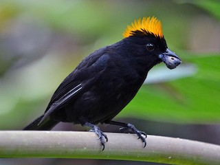 - Tawny-crested Tanager